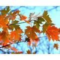 JIAORLEI 1000 Piece Jigsaw Piece Jigsaw Puzzles Maple Branches Adults Teenagers Jigsaw Puzzle Game Toys