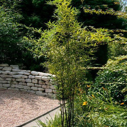 Schwarzer Bambus, im ca. 23 cm-Topf