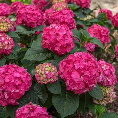 Summer Crush Hydrangea
