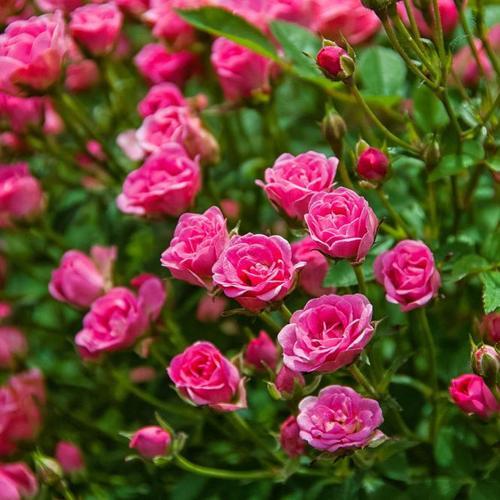 Mini-Rose Lilly Rose™, im ca. 17 cm-Topf