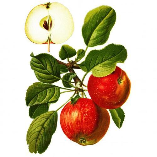 Apfel Roter Boskoop, im ca. 23 cm-Topf