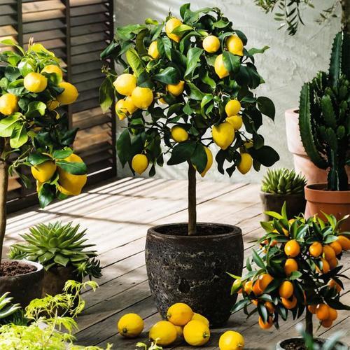 Zitronen-Stamm, im ca. 20 cm-Topf