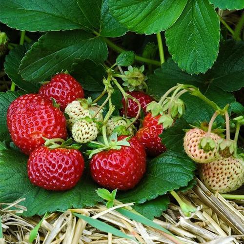 Erdbeere Neue Mieze 12er-Set, im ca. 7 cm-Topf