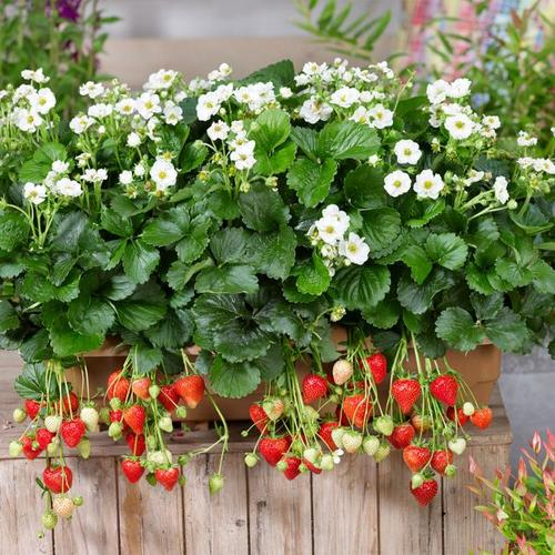 Balkon-Erdbeere, weißblütig, im ca. 11 cm-Topf