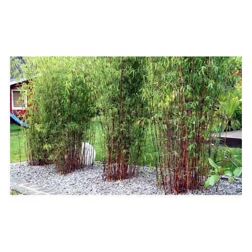 Roter Bambus: 3