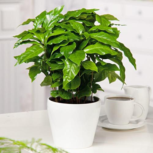 Kaffeepflanze Arabica, im ca. 12cm Topf