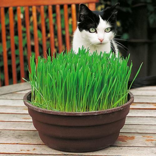 Saatscheibe Katzengras - 20 cm Durchmesser