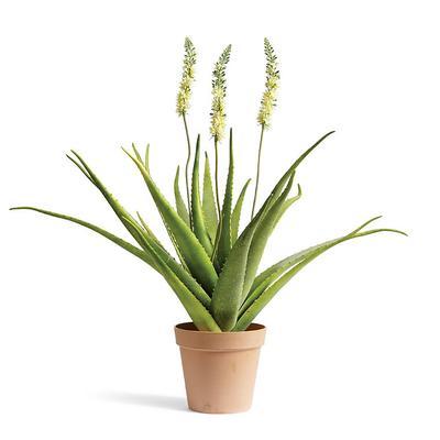 Outdoor Bottlebrush Aloe Plant -...
