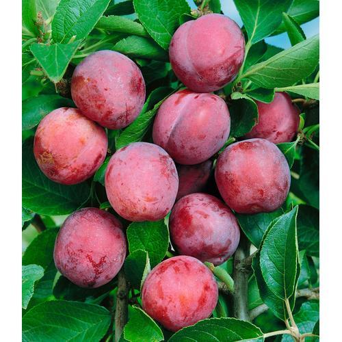 BCM Obstbaum Pflaume Opal rosa Obst Pflanzen Garten Balkon
