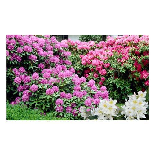 Rhododendron-Pflanzen: 3er-Set