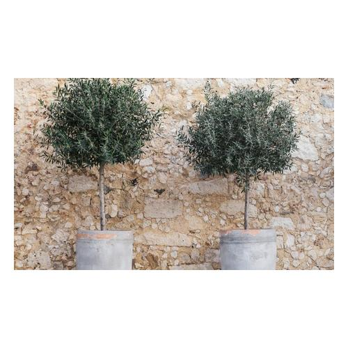 Olivenbaum: 1 / mit Düngemittel