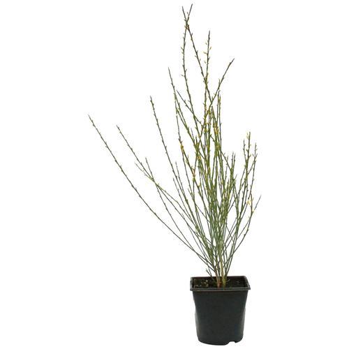 BCM Beetpflanze Ginster, Lieferhöhe ca. 40 cm, 1 Pflanze gelb Pflanzen Garten Balkon