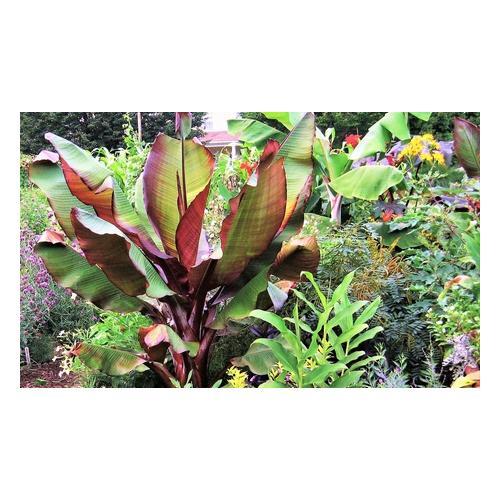 Bananen-Pflanzen : 2