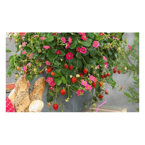 Erdbeerpflanzen: 6-er Set