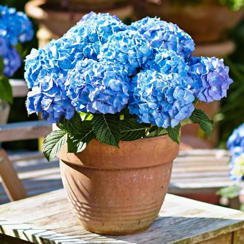 Hortensie Diva fiore®, blau, im ca. 22 cm-Topf
