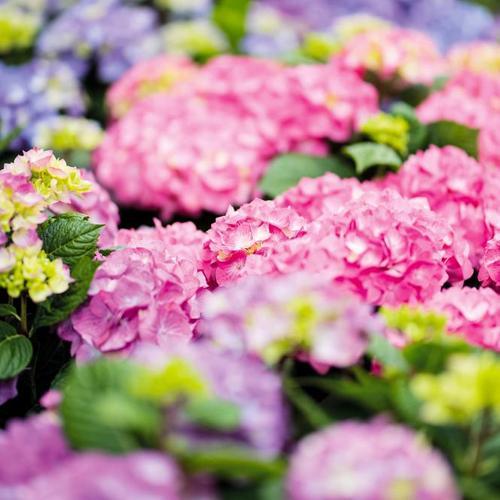 Hortensie Diva fiore®, rosa, im ca. 22 cm-Topf