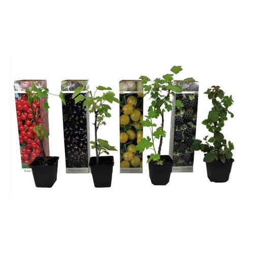 Beerenpflanzen: 4er-Set Beerenpflanzen