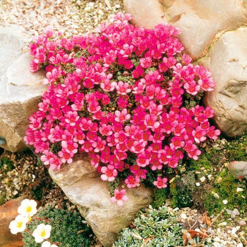 Roter Polstersteinbrech, im ca. 9 cm-Topf