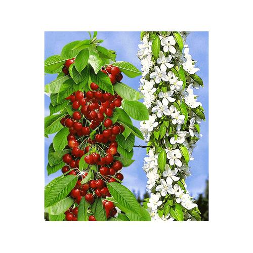 Säulen-Süßkirschen 'Sylvia®', Kirschbaum 1 Pflanze