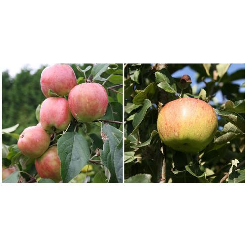 Apfel »Gravensteiner« und »Jonagold«, 2 Pflanzen, Buschbaum, 300 - 400 cm Wuchshöhe
