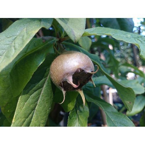 Mispel »Nottingham«, Buschbaum, mit weißen Blüten, im 5 Liter Topf, säuerlicher Geschmack