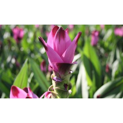 Plante Curcuma Al Siam Splash : x 1