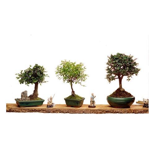 3er-Set Bonsai-Bäume