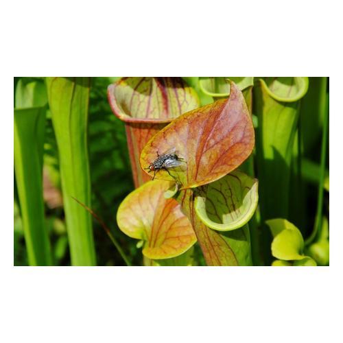 Papageien-Schlauchpflanze: 3 Pflanzen