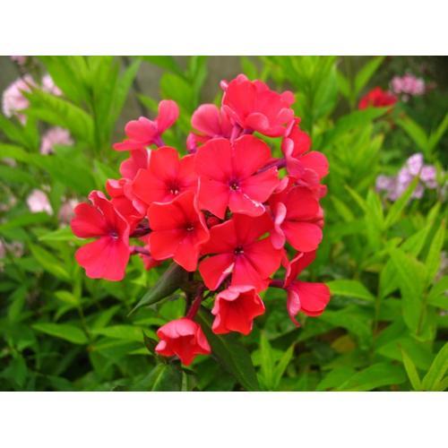 Hoher Staudenphlox, rot blühend, 2 Pflanzen im 1 Liter Topf (2 Pflanzen)