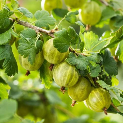 Stachelbeere Invicta®, im ca. 20 cm-Topf, Busch