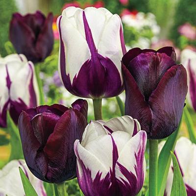 Purple & Black Tulip Bulbs - Blueberry Chocolate Blend - 15 Bulbs