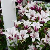 Tulpen-Clematis Princess Kate, i...