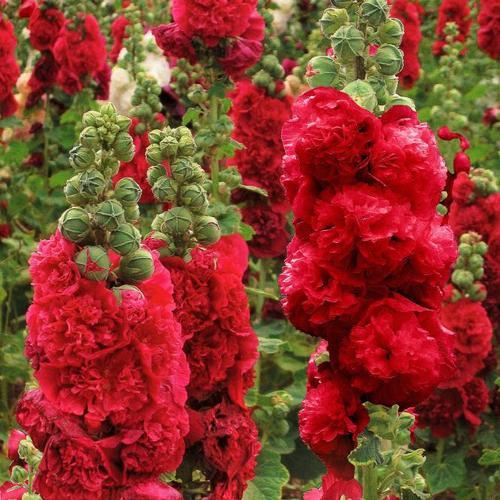 Gefüllte Stockrose, rot, im ca. 9 cm-Topf