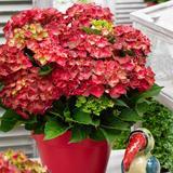 Garten-Hortensie Ruby Tuesday®, ...