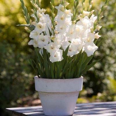 Glamini Gladiolus Blondie