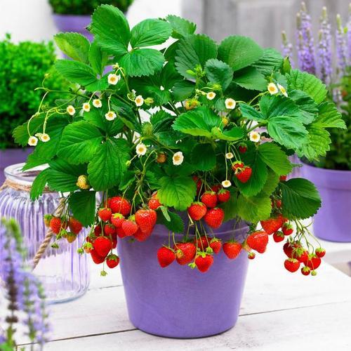 Fridulin-Erdbeere Terralin, im ca. 9 cm-Topf