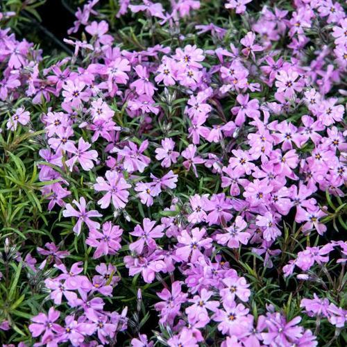 Polsterphlox Violetta Beauty, im ca. 9 cm-Topf