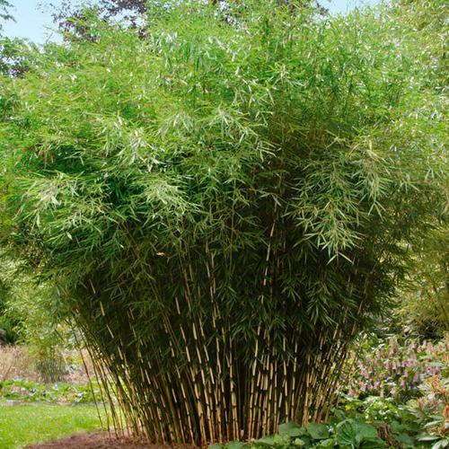 Zebra-Bambus Campbell, im ca. 18 cm-Topf