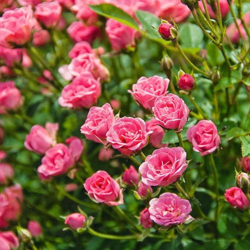 Mini-Rose Lilly Rose™ WONDER5, im ca. 12 cm-Topf